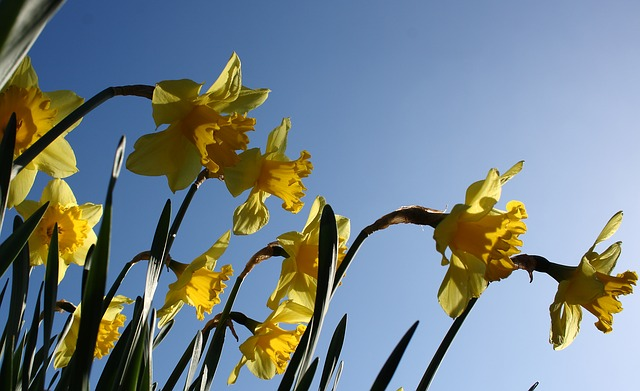 Growing Daffodils – your Complete Guide